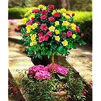 Green Seeds Co. 100 unids/Bolsa Planta de Ãrbol de Rosa Naranja fragante Planta de Flor para el Jardãn de su casa plantación de áRboles de los Bonsai para el Jardãn de su casa: 2