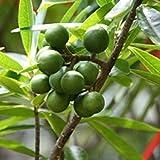 Azalea Garden Rare Rudraksha Religious Tree Shiva's teardrops 1 Healthy Live Plant