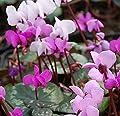 Frühlings Alpenveilchen - Cyclamen coum von Baumschulen bei Du und dein Garten