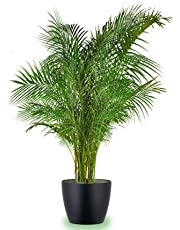 Seedlings India Areca Palm Live Plant