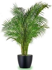 Seedlings India Areca Palm Live Plant