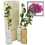ÁRBOL DEL AMOR de pequeño tamaño en caja de madera. Alveolo forestal (3)