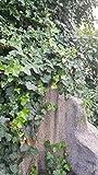 10x Irlandesa Hiedra Plantas Fresco Hedera helix Planta Trepadora grandes hojas NUEVO jardín exterior Planta R66