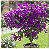50 semillas / Pac ktop venta de semillas Bougainvillea spectabilis Willd coloridas semillas de flor planta de los bonsais del