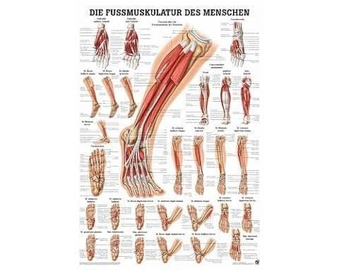 Poster Anatomie - Anatomie Poster–Les muscles du pied des Personnes,
