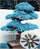 100% echtem 20Stück violett blau Ghost Japanischer Ahorn Baum Samen, (Acer palatum), Bonsai Blumensamen, Topfpflanzen für Home & Garden
