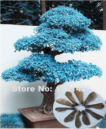 100-reel-20pcs-violet-bleu-fantomes-japonais-graines-erable-acer-palatum-bonsai-graines-de-fleurs-pl