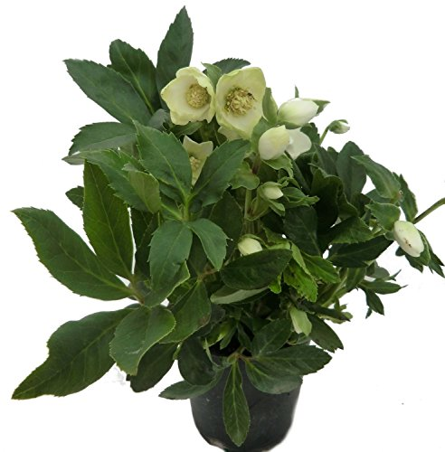 Christrose Helleborus niger 'Christmas Carol' im 12/13 Topf sorgt für einen blühenden Garten im Winter (winterharte Pflanze)