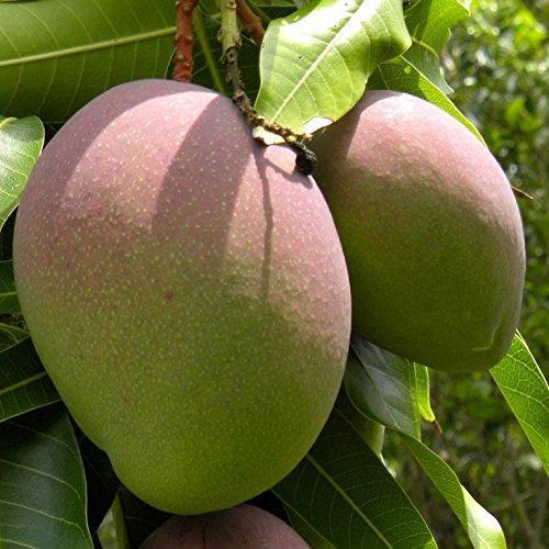 Mango planta - Maceta tubo - Altura aprox. 1,30m. - Planta viva - (Envío sólo a Península)