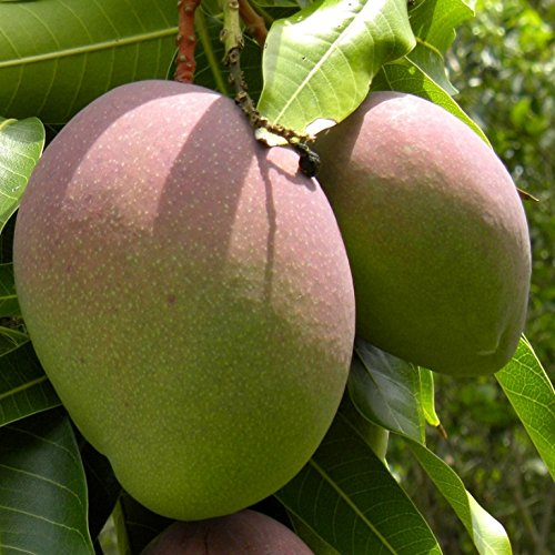 mango-planta-maceta-tubo-altura-aprox-160m-envio-solo-a-peninsula