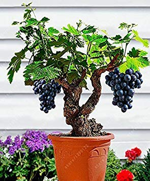 Vistaric 50 teile/beutel traubenkernöl Miniatur Weinrebe Samen Bio obst samen Sukkulenten süße lebensmittel einfach zu wachsen anlage für garten 10 -