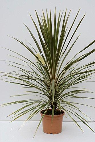 Keulenlilie Sonderform - Cordyline australis Dazzler - 100-120cm Topf Ø 28cm - 10Ltr.
