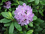 Rhododendron (English Edition)