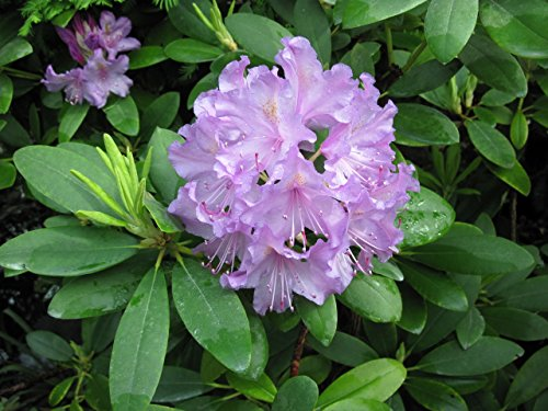 rhododendron-english-edition