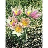30 + Semillas/Paquete de anémona Patens Wolfgangiana Flower Seeds/Perennial/Pulsatilla/Pasque Garden Decoration Bonsai Flower Seeds