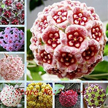 Vistaric Venta caliente 2016 20 Colores Semillas Raras de hoya Semillas de Flor 50pc / pack Semillas de Bonsai para Hogar y Jardín