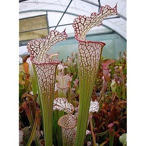 Sarracenia leucophylla Pubescens - Sarracena, Planta de jarra Norteamericana, Plantas trompeta, Cuerno de caza - 5
