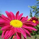Shop Meeko GROSEEDS - Fleurs vivaces, pyrèthre - grandiflora unique mixte, FP-PYR-01, 100 graines par paquet