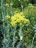 3x Graue Wiesenraute, Thalictrum flavum ssp.glaucum im 9cm Topf als Sparpaket