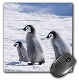 3dRose mp_74287_1 8 x 8-Inch Emperor Penguins on Ice, Snow Hill Island, Antarctica-An02 Ksu0051 - Keren Su Mouse Pad