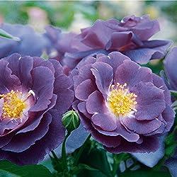 Rose Rhapsody in Blue Strauchrose mit Blüten-Farbe blauviolett - Winterharte Blume mit mittelstarkem Duft - Blütezeit von Juni bis September von Garten Schlüter - Pflanzen in Top Qualität