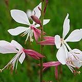 Blumixx Stauden Gaura lindheimeri 'Summer Breeze' - Weiße Prachtkerze, im 0,5 Liter Topf, weiß mit rosa blühend