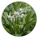 Aglio selvatico/aglio della foresta/montoni/circa 50 semi/perenne/sostituto dell'aglio
