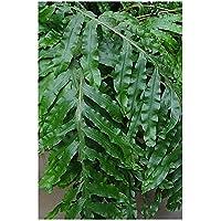 Phlebodium decumanum - - 10 semillas