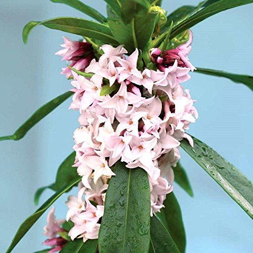 daphne-perfume-princess-worlds-most-fragrant-shrub-new-variety