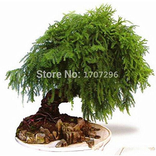 Asperges setaceus Seeds petite maison bambou pour la maison fleurs des plantes en pot planteurs Maison & Jardin - 5 pcs / lot