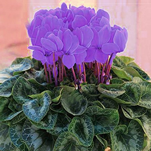 Tomasa Blumensamen Alpenveilchen Samen,entzückende Blumen wohlriechende Samen,Garten Indoor Balkon Blühende Pflanzen (# 1)