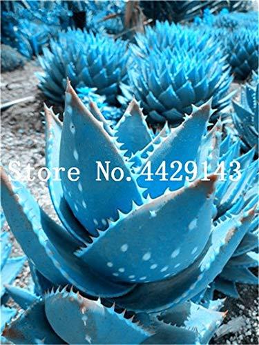 pinkdose rare spirale nuova piantina aloe piante grasse bonsai, polyphylla rotazione aloe vera regina delle piante, 100 pz bonsai piante facile da coltivare: 7