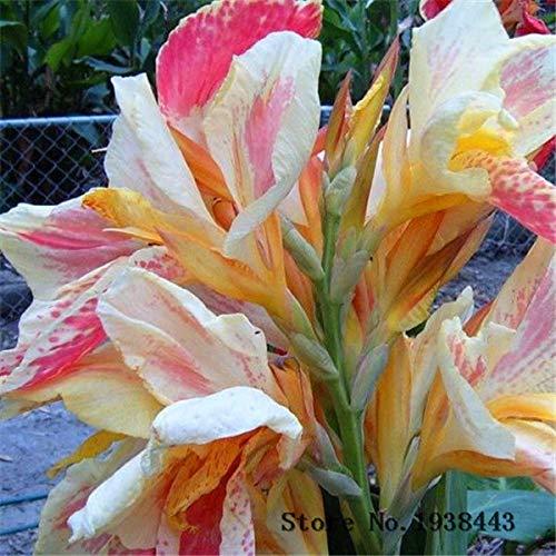 Fash Lady Flower Canna Lily Bulbs - Ermine - CASA DE CASA Tropical - White Flowers 2 Bombilla: 4