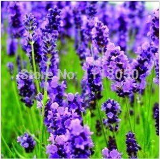 100pcs Lavender Semillas jardín de hierbas de semilla de marihuana balcón semillas de flores Cuatro Estaciones