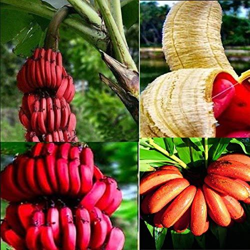 Schnellwachsende Essbar Mini Banane Samen, Zwerg Obst Bäume Bonsai Exotische Bananenpflanze Fruchtsamen Saftig Gemüsebanane Musa Paradisiaca Saatgut