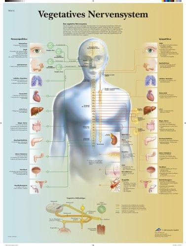 3B Scientific Lehrtafel laminiert - Vegetatives Nervensystem