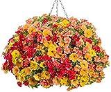 100pcs Petunie Samen hängen Melisse ursprünglichen Blumensamen mehrjährigen Blumen für Hausgarten Bonsai Topf pflanzen Petunie 11