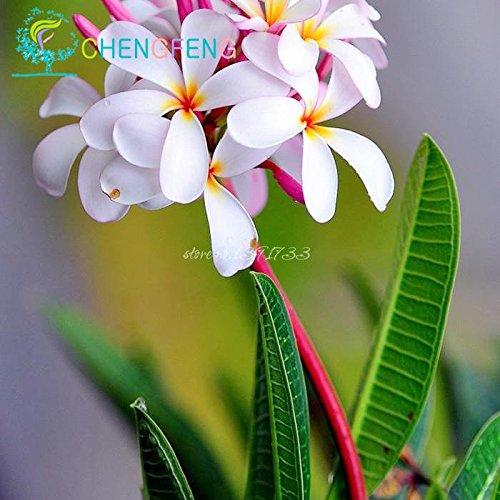 50pcs / bag Plumeria (Frangipani, Hawaiikette Blume) Samen Seltene exotische Blumensamen Egg Blumensamen