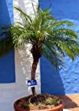 TROPICA - Palma da datteri nana (Phoenix roebelinii) - 25 Semi- Palma