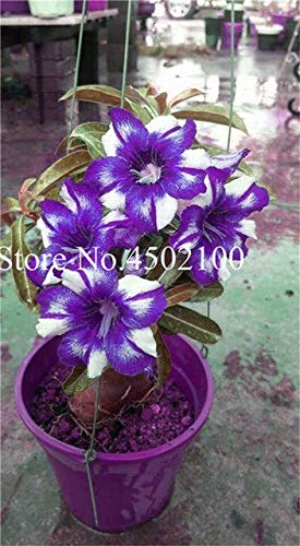 Pinkdose Vero 2 Pz Adenium Obesum Bonsai Esotico Rosa del Deserto Bonsai Fiori in vaso Balcone Multi-Color Petali Piante grasse Semi di piante: 2