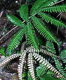 Adiantum tetraphyllum – Vierblättriger Jungfernhaarfarn - 10 Samen