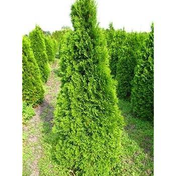 smaragd lebensbaum thuja occidentalis smaragd 100 125 cm hoch im 5 liter pflanzcontainer. Black Bedroom Furniture Sets. Home Design Ideas