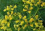 Asklepios-seeds® - 500 Semi di Ruta graveolens La ruta comune