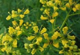 Asklepios-seeds® - 500 Samen der Weinraute Ruta graveolens Saatgut Gartenraute