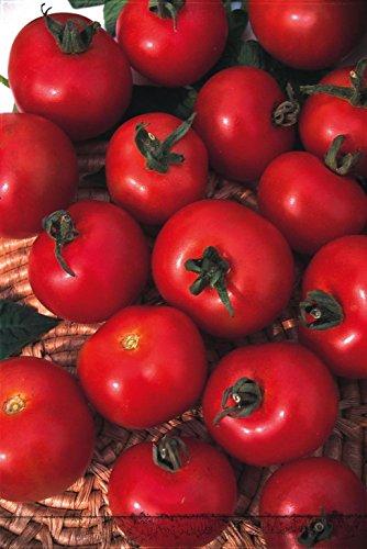 Just Seed Bio Tomaten, Moneymaker, 50 Samen