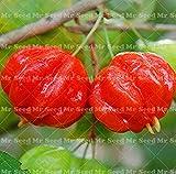 Shopmeeko 10 Stücke Bonsai Surinam Kirschpflanze Pitanga Obstbaum Pflanze Seltene Obstpflanze Für Hausgarten Bio Obst pflanze: 3