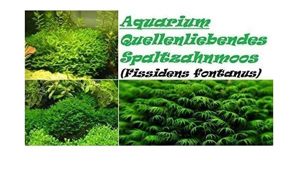 Fissidens splachnobryoides online dating