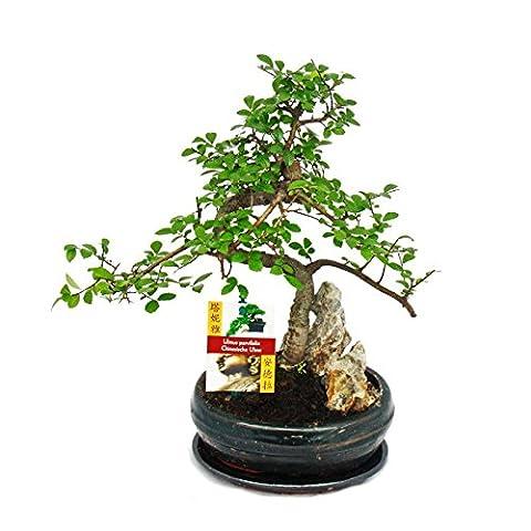 Bonsai chinesische Ulme - Ulmus parviflora - Felslandschaft - ca. 8 Jahre