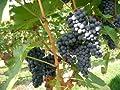Wilde Weinrebe 5 Samen ,Vitis vinifera, Weinrebe, Echter Weinstock (Grape Vitis Vinifera)