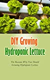 DIY Growing Hydroponic Lettuce